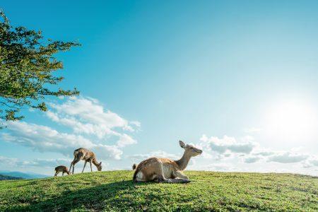 若草山の鹿と青空